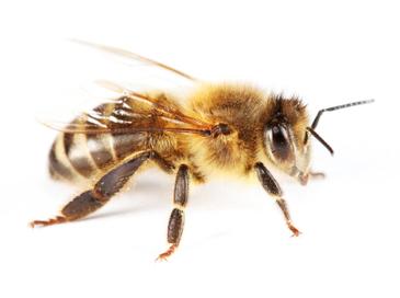 Skidanje roja pčela